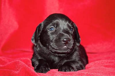 A Black Labrador Retriever Puppy Lying Print by Zandria Muench Beraldo