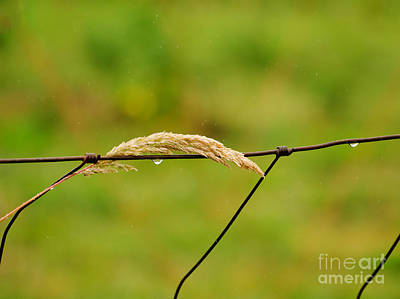 Photograph - A Blade Of Summer Goosegrass Quenching Its Thirst by MaryJane Armstrong