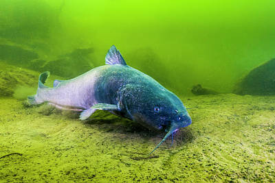Photograph - A Blue Catfish Swimming by Jennifor Idol