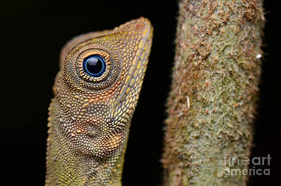 A Blue Eye Lizard Sitting On The Tree In The Natural Habitat. Close-up  Art Print by Artpixelgraphy Studio