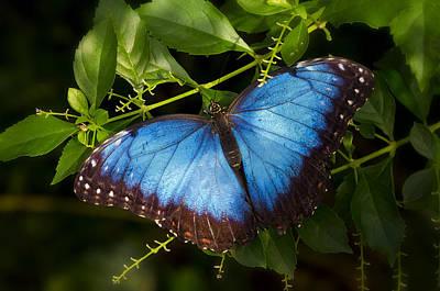 Photograph - A Blue Morpho Butterfly  by Saija  Lehtonen