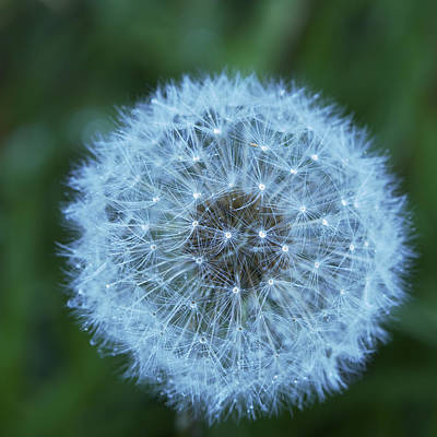 Photograph - A Blue Wish - Dandelion With Dew by Jane Eleanor Nicholas
