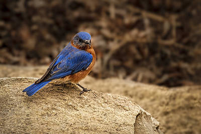 Photograph - A Bluebird In Kansas by Scott Bean