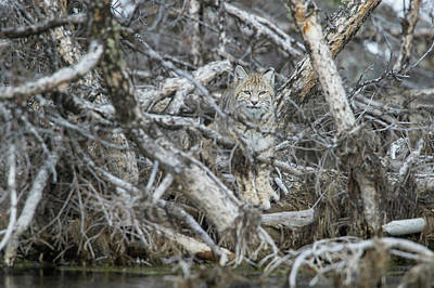 Photograph - A Bobcat Has Perfect Camouflage by Barrett Hedges
