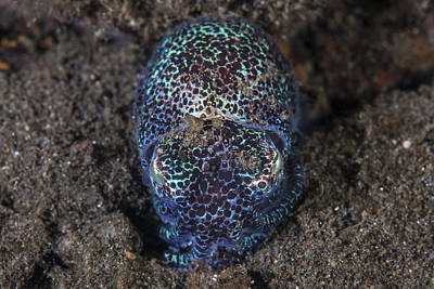 Bobtails Photograph - A Bobtail Squid Emerges From The Sandy by Ethan Daniels