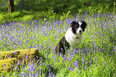 A Border Collie Amongst Bluebells Art Print