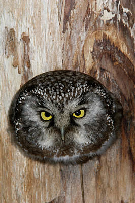 Photograph - A Boreal Owl In The Hollow Of A Tree by Michael S. Quinton