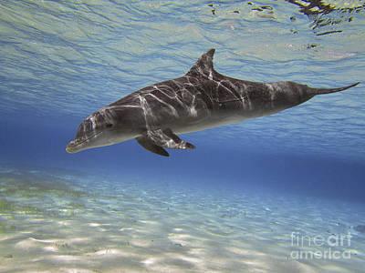 A Bottlenose Dolphin Swimming Art Print by Amanda Nicholls