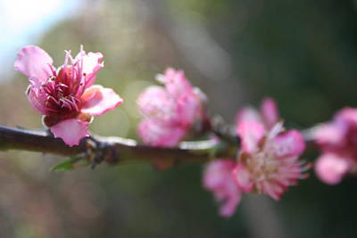 Photograph - A Bough Of Blurred Peach Blossom by Tracey Harrington-Simpson