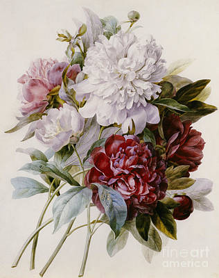 A Bouquet Of Red Pink And White Peonies Art Print by Pierre Joseph Redoute