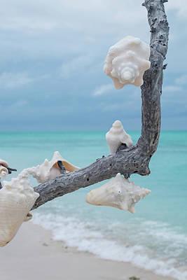 Tortuga Beach Photograph - A Branch Full Of Conch Shells by Jonathan Irish
