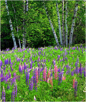 Photograph - A Breathless Moment Among Lupine by Wayne King
