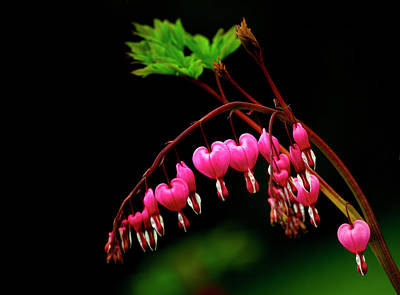 Bleeding Hearts Photograph - A Bright Bleeding Heart Flower by Sheila Haddad