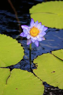 A Bright Purple Water Lily Art Print
