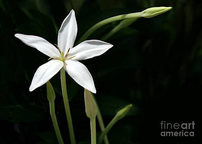 Florida Flowers Photograph - A Bright White Star by Sabrina L Ryan