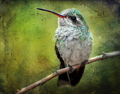 Photograph - A Broad-billed Hummer by Barbara Manis