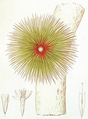A Bromelia Found In The Andes Art Print by French School