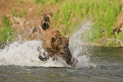 Brown Bear Photograph - A Brown Bear Dives After Red Salmon by Hugh Rose