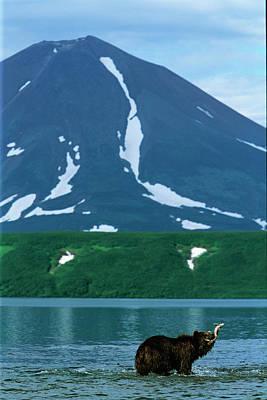 A Brown Bear Fishing Kurilskoye Lake Art Print by Steve Winter