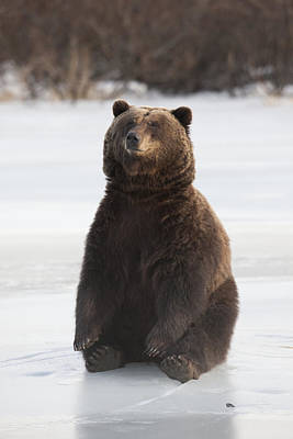 Sitting Bear Photograph - A Brown Bear Sits On A Frozen Lake by Doug Lindstrand
