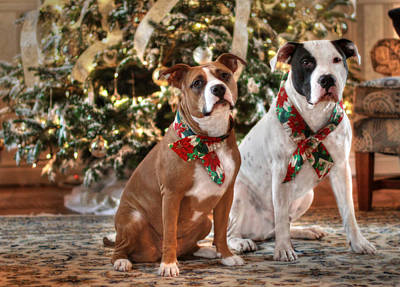 Pitbull Photograph - A Bubba And Kensie Christmas - No Text by Shelley Neff