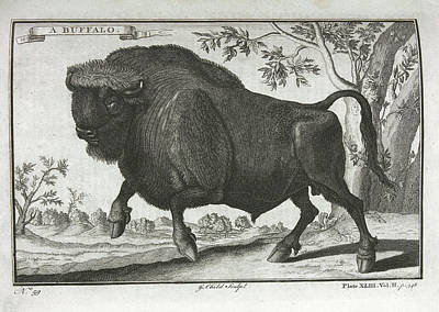 Bison Photograph - A Buffalo by British Library