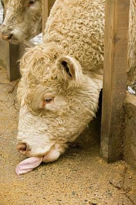 Feeding Photograph - A Bull Feeding by Ashley Cooper