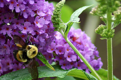 A Bumblebee In The Garden Art Print by Kim Pate