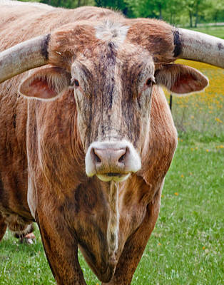 Longhorn Photograph - A Bunch Of Bull by David and Carol Kelly