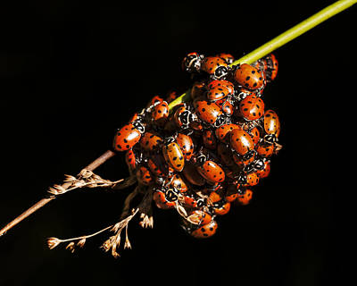 Photograph - A Bunch Of Ladybugs by Lee Kirchhevel