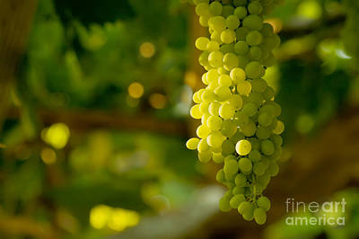 Grape Vines Photograph - A Bunch Of White Grapes  by Leyla Ismet