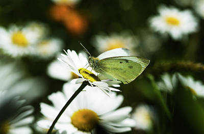 Close Focus Nature Scene Photograph - A Cabbage White Butterfly Rests by Robert L. Potts