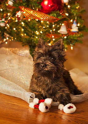 Photograph - A Cairn Terrier Christmas Portrait by Heidi Marcinik
