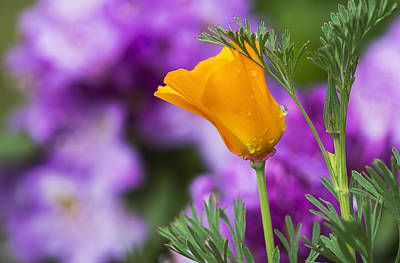 Moisture On Plants Photograph - A California Poppy Blooms In A Garden_ by Robert L. Potts