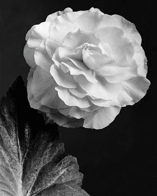 White House Photograph - A Camellia Flower by J. Horace McFarland