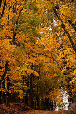 Photograph - A Canapy Of Golden Leaves by Linda Shafer