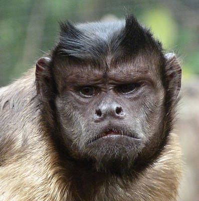 Photograph - A Caring Capuchin Leader by Margaret Saheed