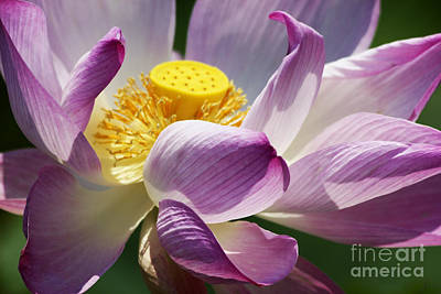 Photograph - A Casual Water Lily by Nola Lee Kelsey