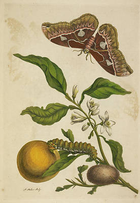 A Caterpillar Feeding. A Butterfly Print by British Library