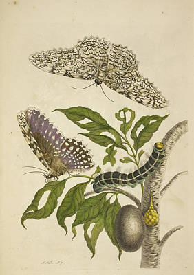 A Caterpillar Feeding On A Plant Print by British Library