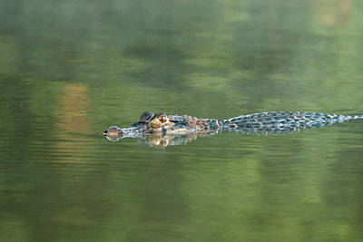 Amazon River Photograph - A Cayman Floats In Sandoval Lake by R. Tyler Gross