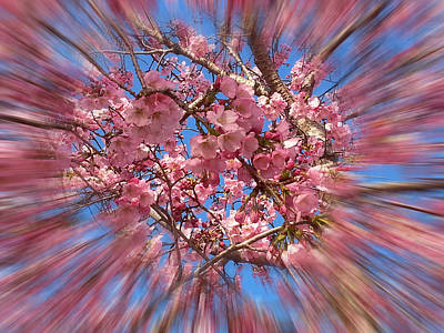 Photograph - A Cherry Blossom Burst by Emmy Marie Vickers
