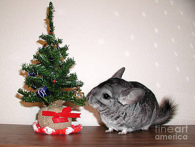 Photograph - A Chinchilla Christmas by Debra Thompson