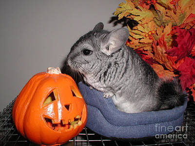 Photograph - A Chinchilla Halloween by Debra Thompson