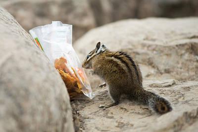 Chipmunk Photograph - A Chipmunk Sniffs A Bag Of Dried Fruit by David Zentz