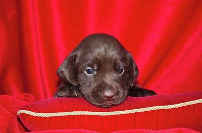 A Chocolate Labrador Retriever Puppy Print by Zandria Muench Beraldo