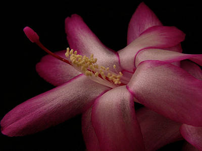 Photograph - A Christmas Cactus  by Nancy Griswold