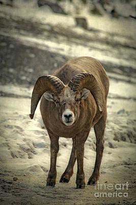 Rocky Mountain Sheep Photograph - A Close Encounter by Evelina Kremsdorf