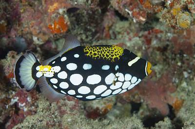 Triggerfish Photograph - A Clown Triggerfish In The Maldives by Science Photo Library