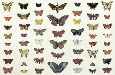 Flies Drawing - A Collage Of Butterflies And Moths by French School